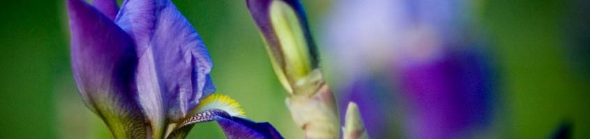 May Irises
