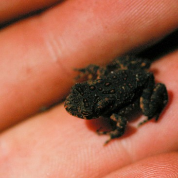 We saw over 50 frogs and toads, many of them tiny like this one