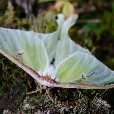 Luna Moth on the way to East Dix