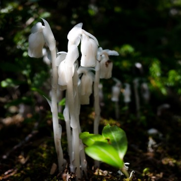 Indian Pipe flowers, which lack clorophyll