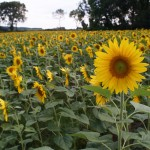 Sunflower with Lens Turbo and SMC Takumar 24/3.5