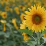 Sunflower with Lens Turbo and SMC Takumar 50/1.4