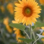 Sunflower with Lens Turbo and SMC Takumar 85/.18