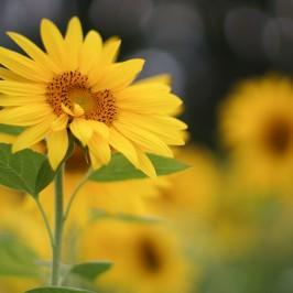 Takumar Sunflowers
