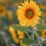 Sunflower with Lens Turbo and SMC Takumar 135/2.5