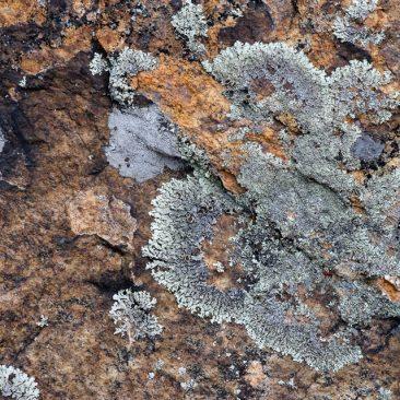 Lichen on Little Porter Mt.