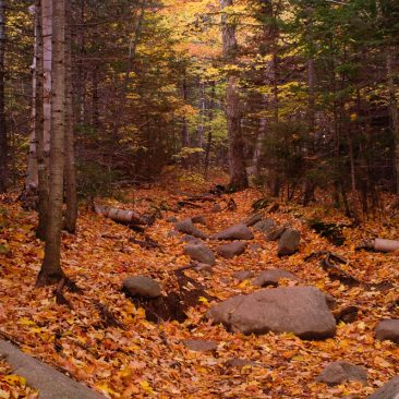 Leaves cover the trail to Algonquin