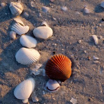 Sea shells, Sanibel