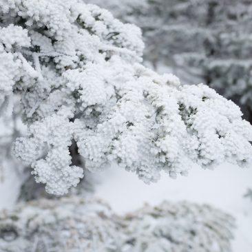 Frozen bough